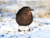 A telephoto of a female blackbird in wintertime — Stock Photo