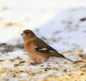 Chaffinch. Beautiful garden bird in Europe, incl. Denmark — Stock Photo