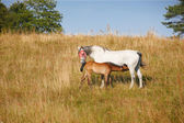 A telephoto of a mother and baby - horses — Stock Photo