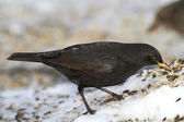 Male Blackbird — Stock Photo