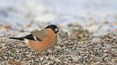 Eurasian Bullfinch — Stock Photo
