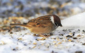 Sparrow in wintertime. Beautiful garden bird in Europe, incl. Denmark — Stock Photo