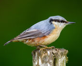 Nuthatch - the colored sparrow — Stock Photo