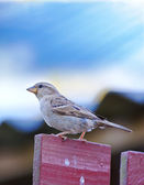 Telephoto of a sparrow on a pole — Stock Photo