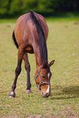 Krásný hnědý kůň — Stock fotografie