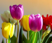 Colorful tulips — Photo