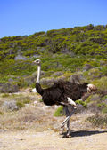 Wild ostrich in South Africa — Stock Photo