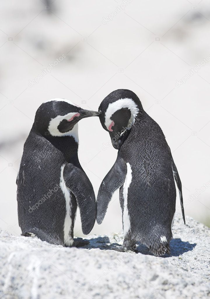 Penguin love — Stock Photo © Dhoxax #6548631