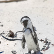 Stock Photo: Africpenguin