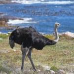 Wild African ostrich — Stock Photo #6551048