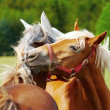 Stock Photo: Two horses fighting