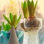 Hyacinth bulbs — Stock Photo