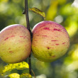 Apples in late fall — Stock Photo