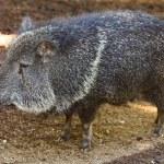 Wild pig — Stock Photo #6551472