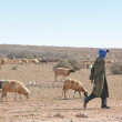 Sheep in Morocco - Stock Photo