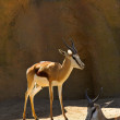 Young deer posing -  