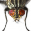 Ugly fly - Stock Photo