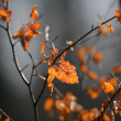Orange leaves — Photo