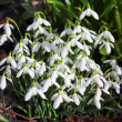 Snowdrops — Stock Photo #6552135