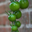 Healthy green tomato — Stock Photo #6557483