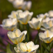 A photo of garden tulips — Stock Photo