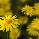 Yellow flowers — Stock Photo #6558617