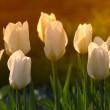 White tulips in my garden — Stock Photo