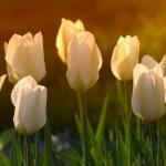White tulips in my garden — Stock Photo
