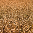 Corn fields in Denmark — Stock Photo