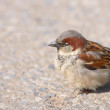 Stockfoto: A telephoto of a small sparrow in early sunset