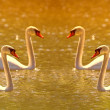 Stock Photo: Telephoto of wonderful swans at sunset