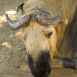 Close up photo of a seldom type of cow — Stockfoto