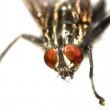 House fly — Stock Photo