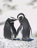 Penguin love — Stock Photo
