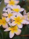 Beautiful Hawaiian flowers — Stock Photo