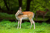 White-tailed deer — Stock Photo