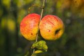 Autumn apples in the garden — Stock Photo