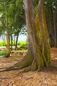 Old tree at Bellows Beach, Hawaii — Stock Photo