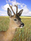 Deer — Stock Photo
