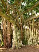 Jungle tree — Stock Photo