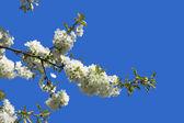 Flores de fruta — Foto de Stock
