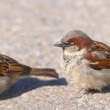 Stock Photo: Telephoto of small sparrow in early sunset