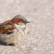 Foto de Stock  : A telephoto of a small sparrow in early sunset