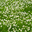 Lawn flowers — Stock Photo #6560863