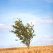 Royalty-Free Stock Photo: A photo of a lonely tree in the middle of a field of corn