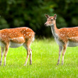 White-tailed deer - twins - Stock Photo