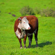 Stock Photo: Cow on grass