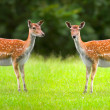Beautiful doe - Stockfoto