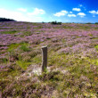 Blooming heather — Foto de Stock