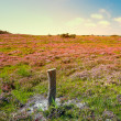 Stock Photo: Blooming heather at sunset